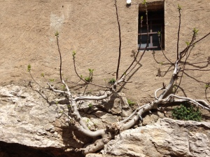 A fig tree growing... in spite of...